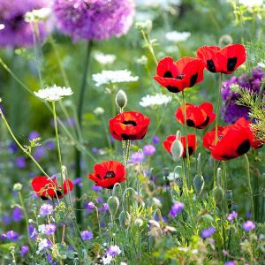 Wild flower mixtures, grass seed & spring flowering bulbs