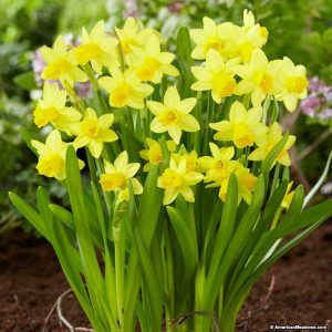 Popular bulbs & daffodils